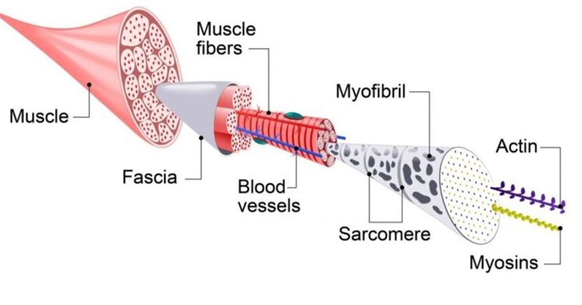 Budowa mięśnia szkieletowego i jego funkcje | sarkomer